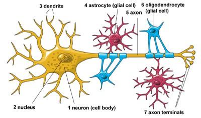 Neuron-glia physical connections