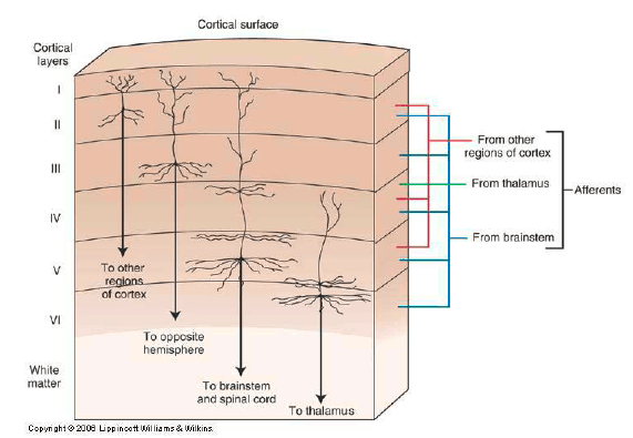 Figure 7.5 Six Neuron Layers in Cortex