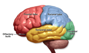 Figure 6.4. Brain, cortical lobes specialize on a sense or motor reaction