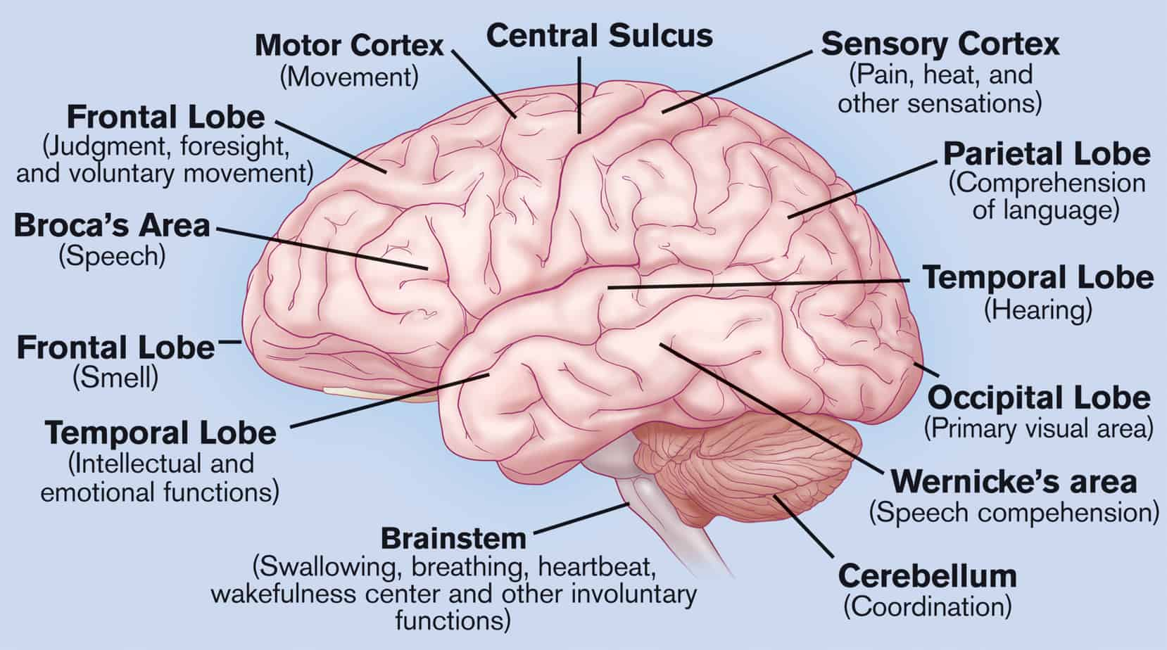 Brain features and functions