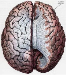Figure 1. Corpus callosum, repeated connections between the hemispheres. The brain seen from above. We can see the band of the corpus callosum fanning out after crossing, and joining every part of the two hemispheres.
