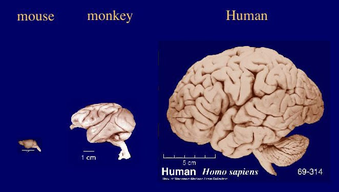 Brain through the Ages. Tremendous increase in brain size in mammalian species. Mouse monkey human brain